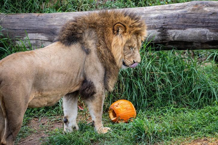 australia sidney zoologico halloween octubre brujas calabazas0005 - Animales disfrutaron de Halloween en zoológico de Australia. Hasta los carnívoros comieron calabazas