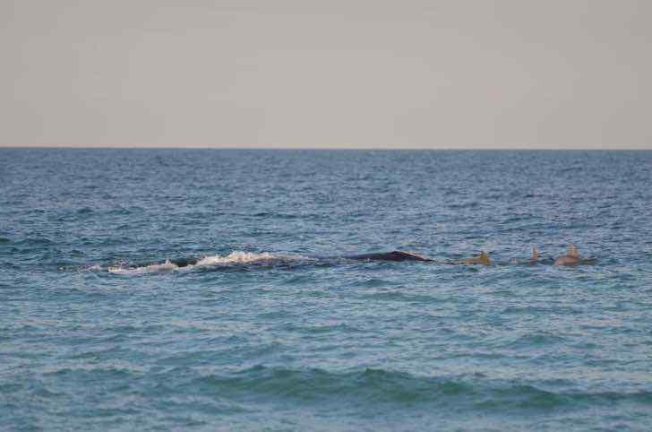 2 62 - Ballena fue vista nadando con una manada de delfines en una playa de Florida. Parecen buenos amigos