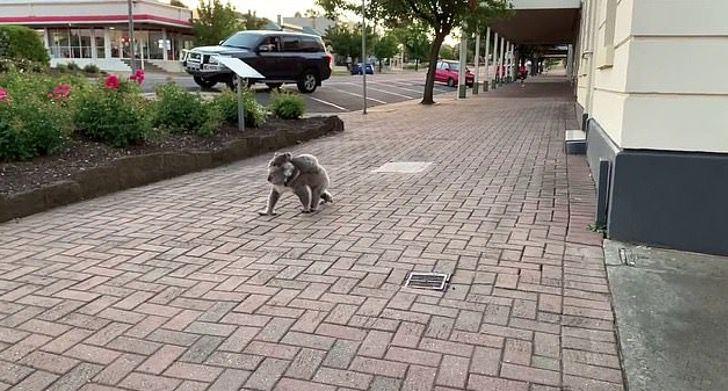Captura de Pantalla 2021 01 06 a las 15.05.37 - Una adorable mamá koala es vista con su cría en un pueblo rural. Cruzaba las calles cuidadosamente