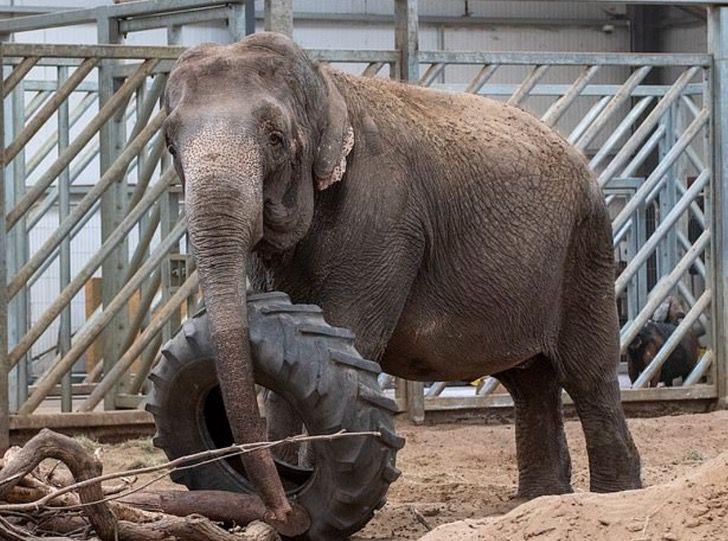 Captura de Pantalla 2021 02 15 a las 18.06.00 1 - Elefanta pasó de ser maltratada en un circo a una vida tranquila de safari. Es el retiro que merece