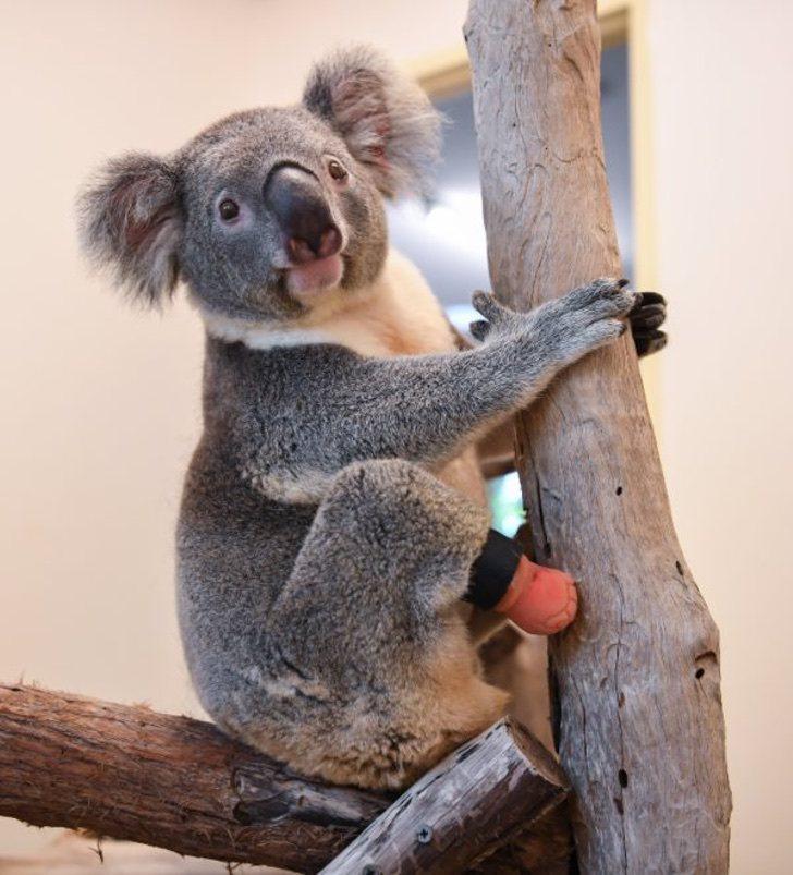 koala 2 z - Koala encontrado con tres patas disfruta su nueva vida con una prótesis. Es feliz en los árboles