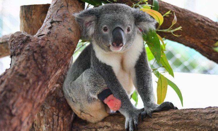 koala t - Koala encontrado con tres patas disfruta su nueva vida con una prótesis. Es feliz en los árboles