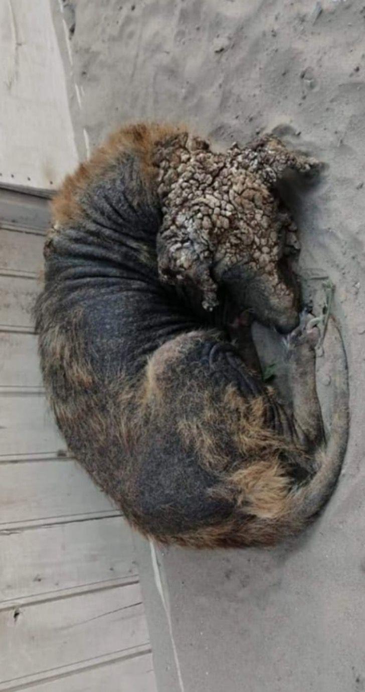 Captura de Pantalla 2021 04 06 a las 17.21.54 - Perdió su pelaje y dormía enrollado en la calle, hasta que lo rescataron. Se recuperó y ya sonríe