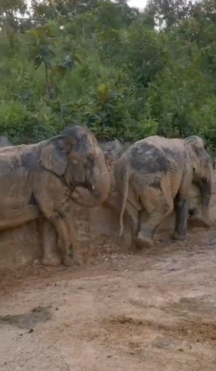 Captura de Pantalla 2021 07 23 a las 16.00.45 - Grupo de elefantes en Tailandia se revolcaron felizmente en el barro. Se refrescaban del calor