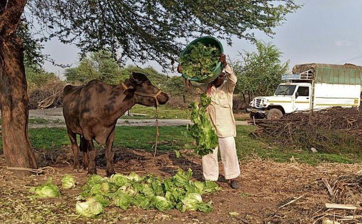 bufalo borrachos licor India delito peligro0000 - Búfalos se emborrachan por beber licor ilegal en la India. Actuaban de manera extraña en la granja