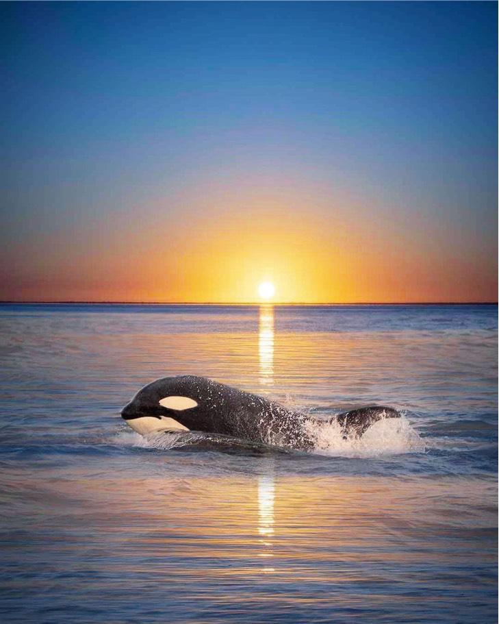 orca sunset marys mark photography 1 - Fotógrafa capta el momento exacto en que una orca se fusiona con la puesta de sol. Bella casualidad