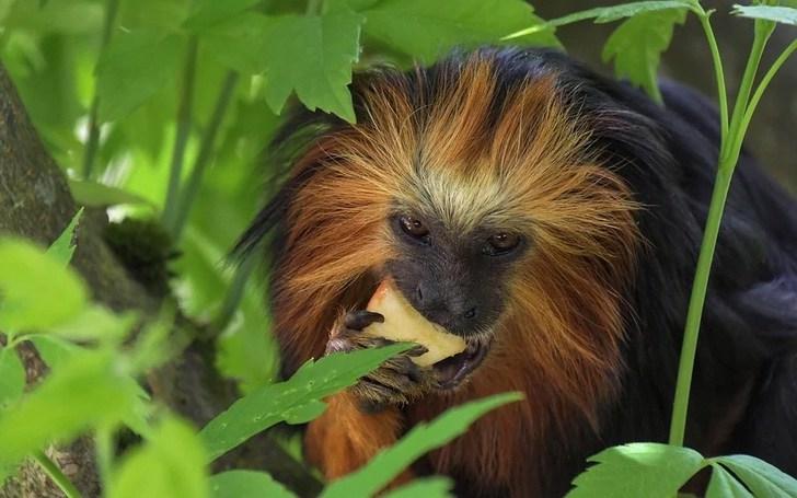monkey 3732957 960 720 - Nacen gemelos de tití león dorado en zoológico de Brasil. Hermosos primates en peligro de extinción