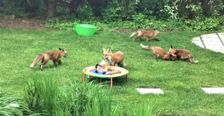 scale 4 2 - Zorros visitan jardín de hombre y lo usan como centro de juegos. Es su momento de relajo y calma