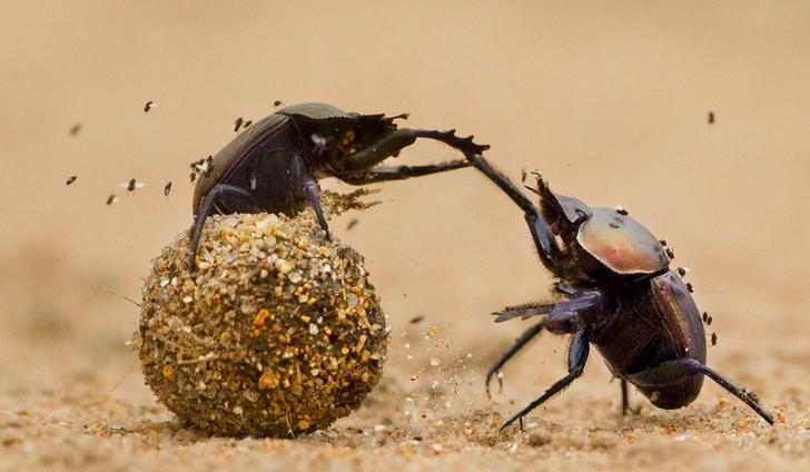 Resultado de imagen de Escarabajos pelotero