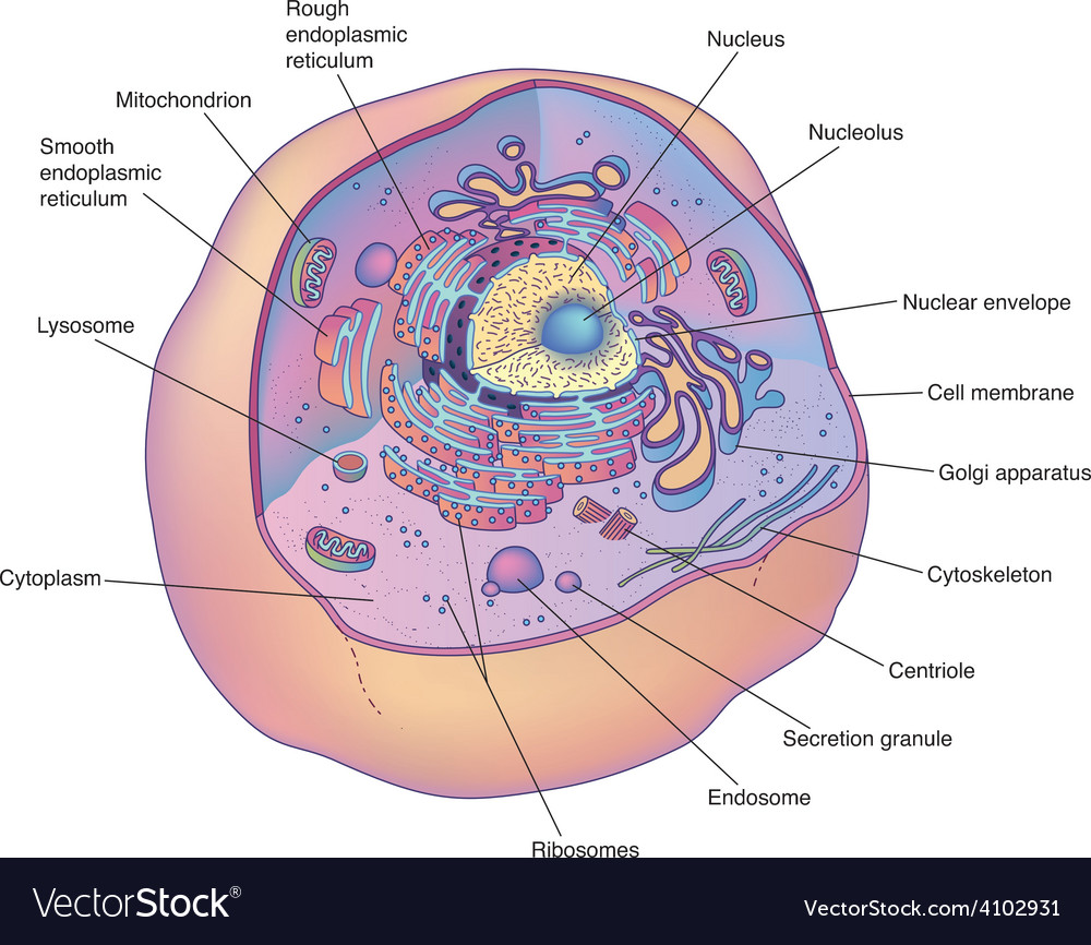 Animal cell diagram Royalty Free Vector Image   VectorStock Animal cell diagram vector image