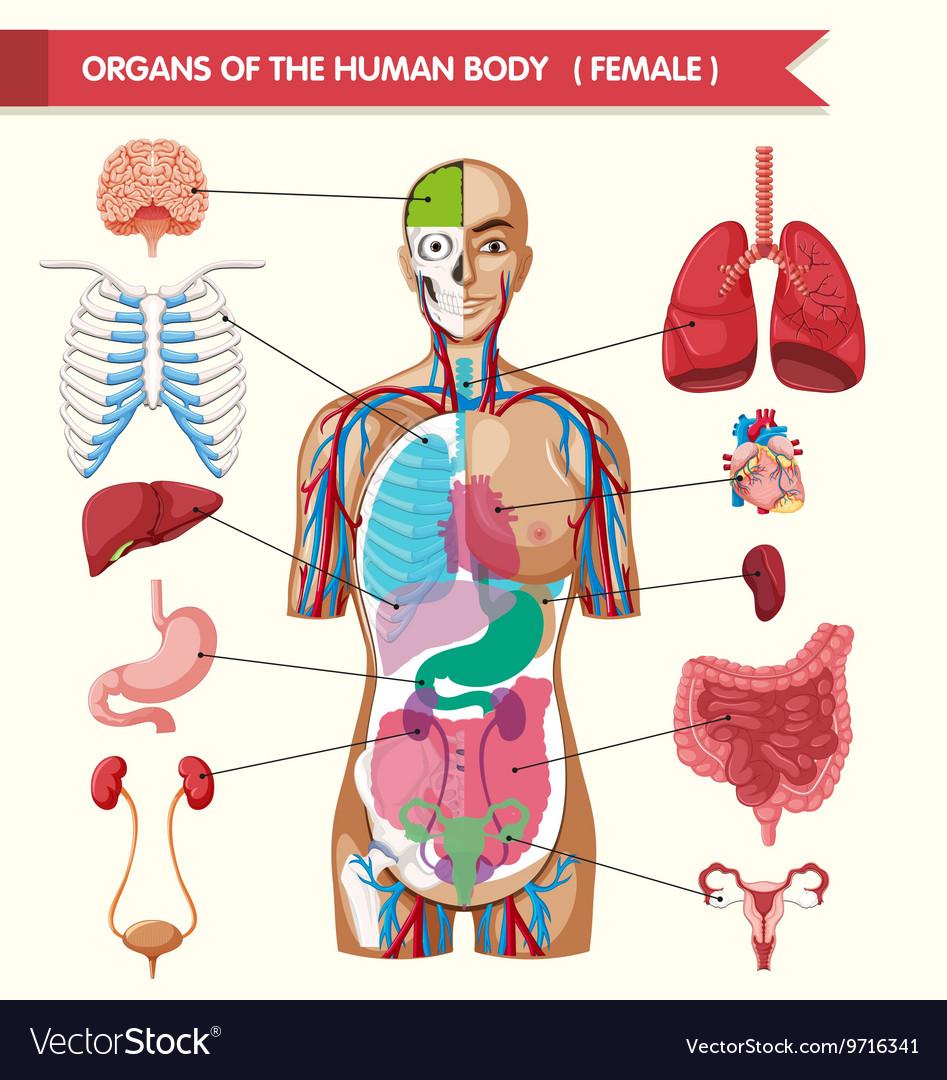 Layout Body Organ Human