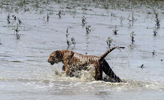 Sundarban-Tigers