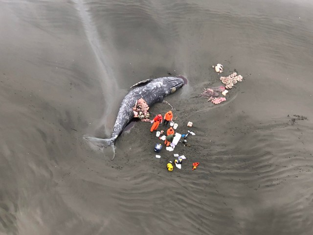 USCG aerial necropsy.jpg Aerial photo of necropsy team examining gray whale.
