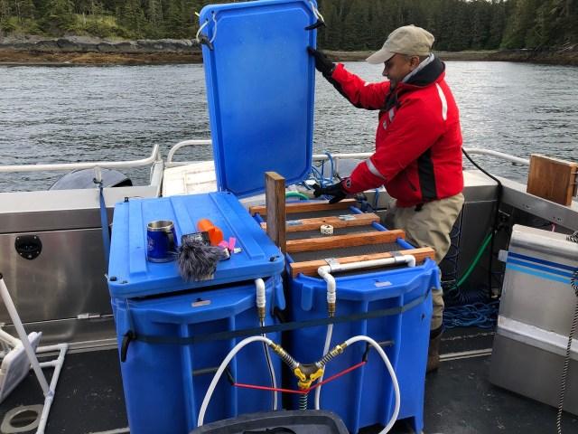 Transporting live juvenile cod to Auke Bay Laboratories.