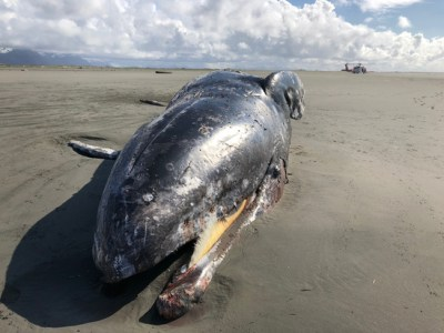 Female adult gray whale found along the Copper River Delta.Photo courtesy of U.S. Coast Guard, May 17, 2019