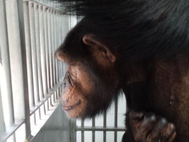 Lab Chimps Get A New Home In Georgia Dacula GA Patch