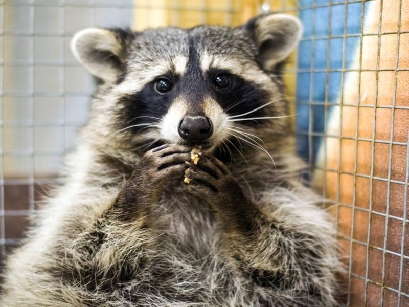Rabid Raccoon Reported In Northwest Charlotte Charlotte