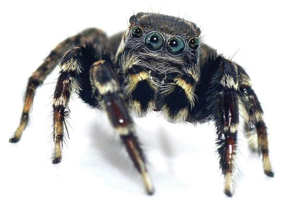 Прыгающий паук, названный в честь дизайнера Карла Лагерфельда
