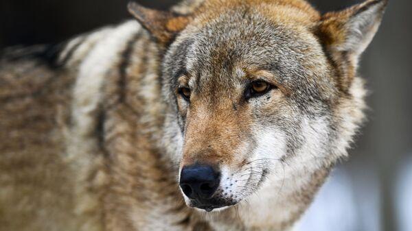 В Бельгии волк растерзал кенгуру
