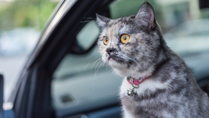 Cat is a animal type mammal and pet so cute gray color sitting on car seat inside a car wait for travel trip