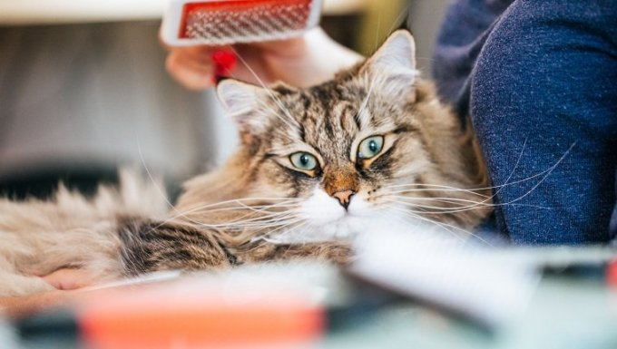 Front View of a Cat, Grooming Brush Above it's Head