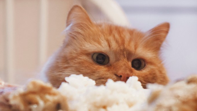 Cat eating rice