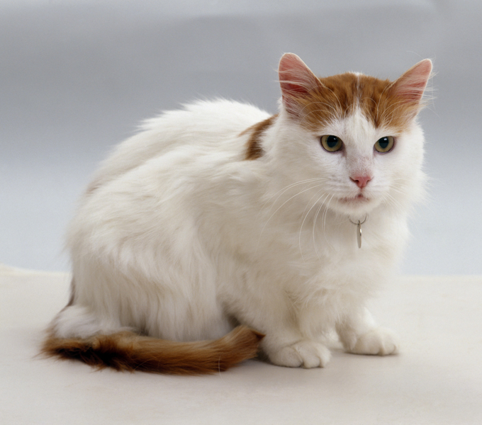 Image result for a picture of a turkish van cat