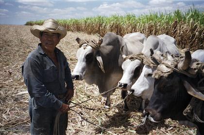 012-cows-v2.jpeg