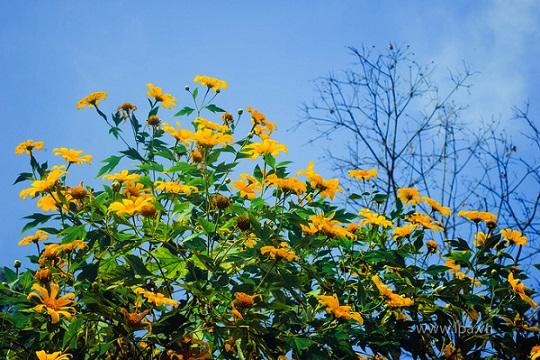 Hoa dã quỳ đẹp nhất vào buổi sáng, khi ánh nắng cuối thu đầu đông vừa hửng lên, làn sương mỏng manh vẫn đọng trên lá. Nếu tới muộn hơn, khi mặt trời lên cao, trời quang mây xanh, bạn lại có thể ngắm nhìn vẻ đẹp của loài hoa được trọn vẹn và bừng sáng hơn.