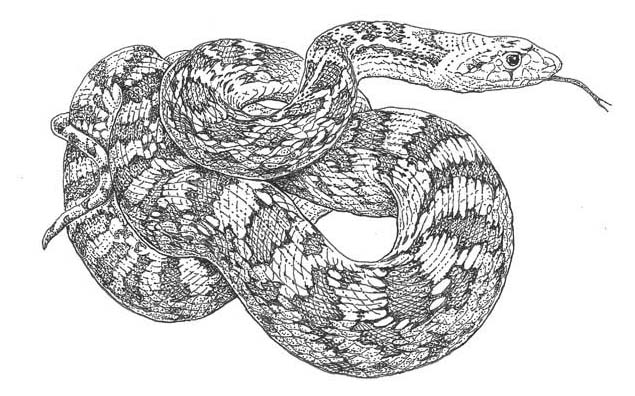 gopher snake colouring pages