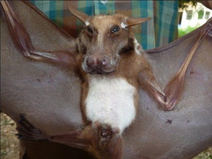 Murcielago parece perro - El extraño murciélago con apariencia de «perro volador» que fue hallado en África. Es una belleza