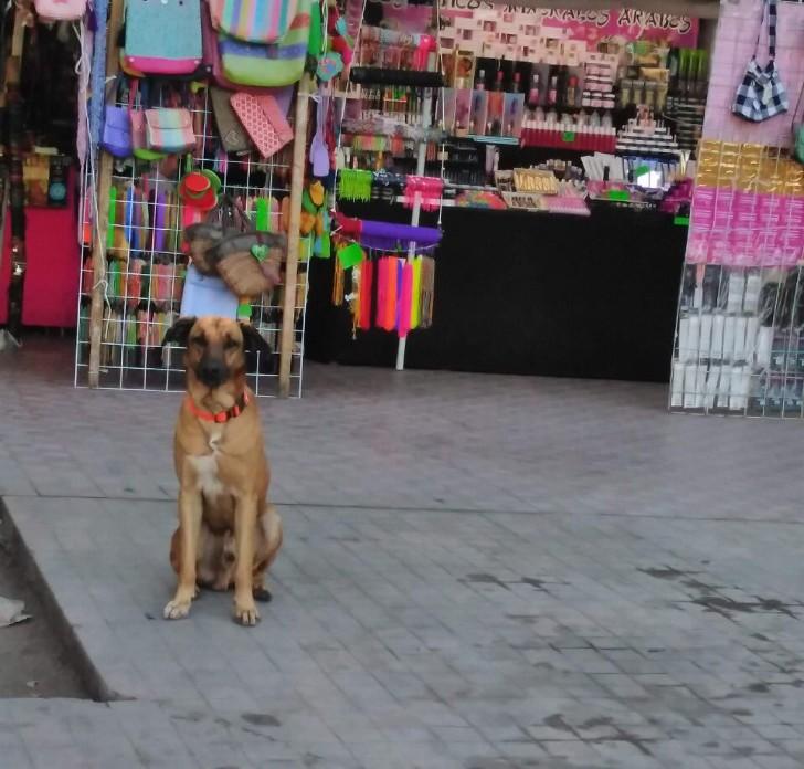 """capitan 1 - Vecinos despiden a """"Capitán"""", un perrito adoptado por la ciudad de Culiacán. Fue un gran compañero"""