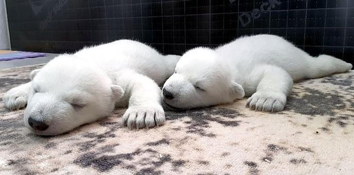 katy perry clubes0004 - Ositos polares abandonados por su madre son criados por mujeres. Les dan leche tibia y masajes