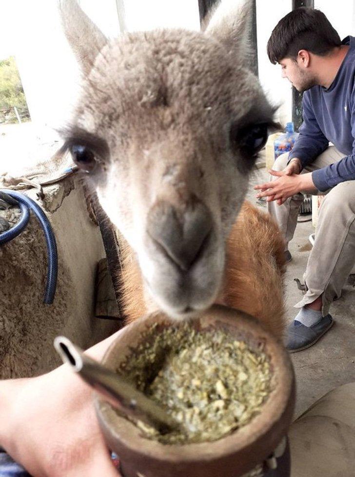 720 1 - Joven adopta a un guanaco abandonado y lo convierte en su ayudante de cocina. Es muy inteligente