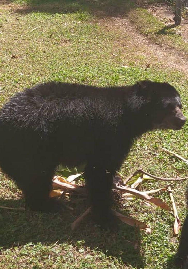 Captura de Pantalla 2021 02 12 a las 16.14.26 - Preparan baby shower para osa en peligro de extinción en Venezuela. Tratan de preservar su especie