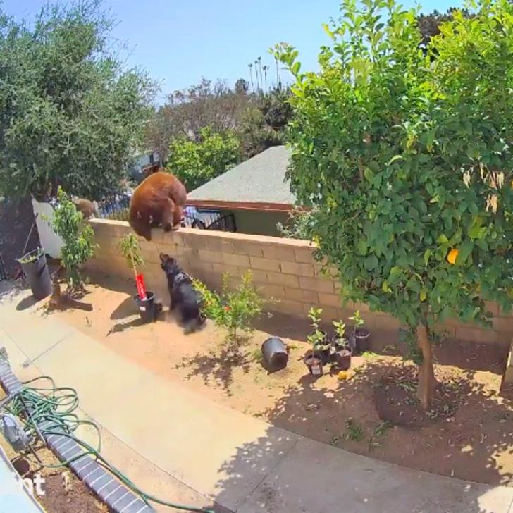osa mujer protege perros0002 - Mujer se enfrentó a una osa para salvar a sus perros. La empujó de la verja usando sus propias manos