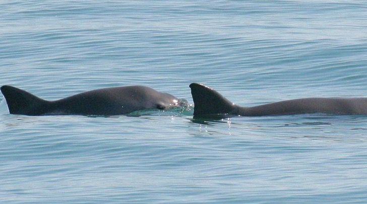 Captura de Pantalla 2021 07 23 a las 14.58.16 - Unesco reiteró el peligro que corre la vaquita marina y su hábitat en México. Quedan 10 ejemplares