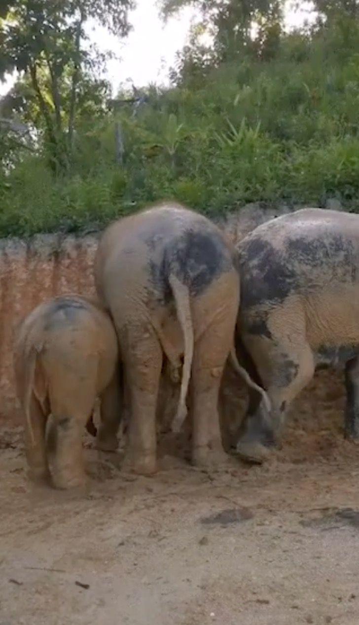 Captura de Pantalla 2021 07 23 a las 16.01.00 - Grupo de elefantes en Tailandia se revolcaron felizmente en el barro. Se refrescaban del calor