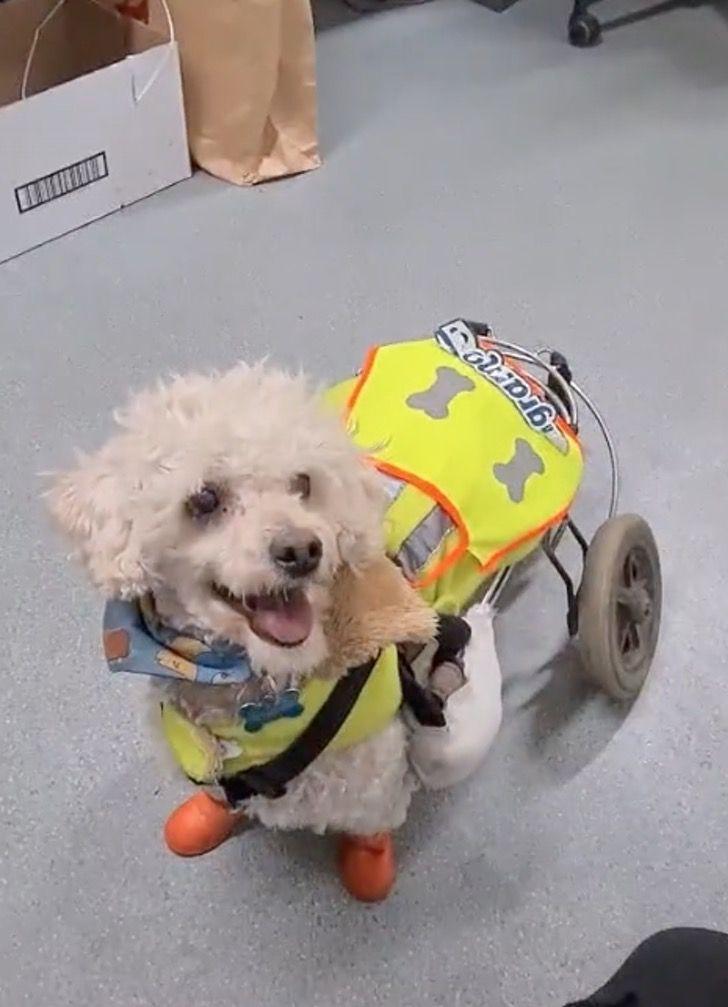 """Captura de Pantalla 2021 08 30 a las 17.27.04 - """"Llegó el jefe"""": Perrito en silla de ruedas es tratado como encargado de la bodega donde trabaja"""