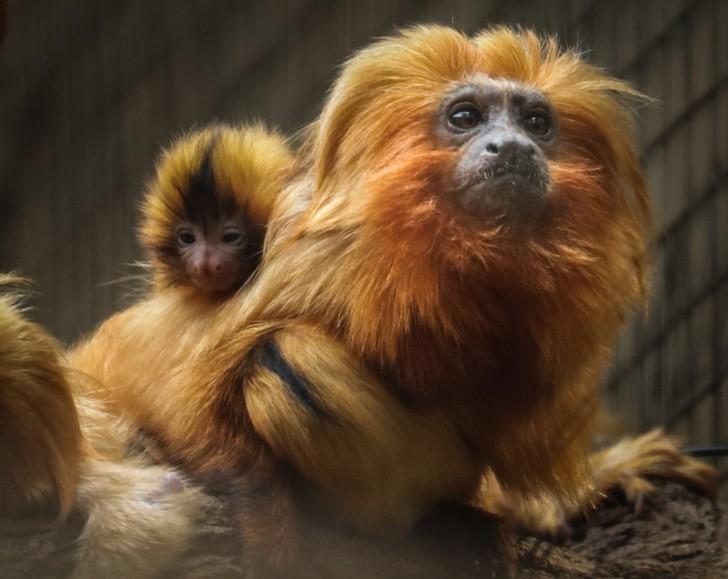 mico leao 4 - Nacen gemelos de tití león dorado en zoológico de Brasil. Hermosos primates en peligro de extinción
