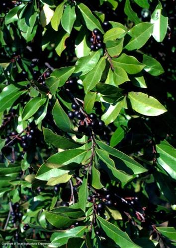 Evergreen Bushes Zone 7