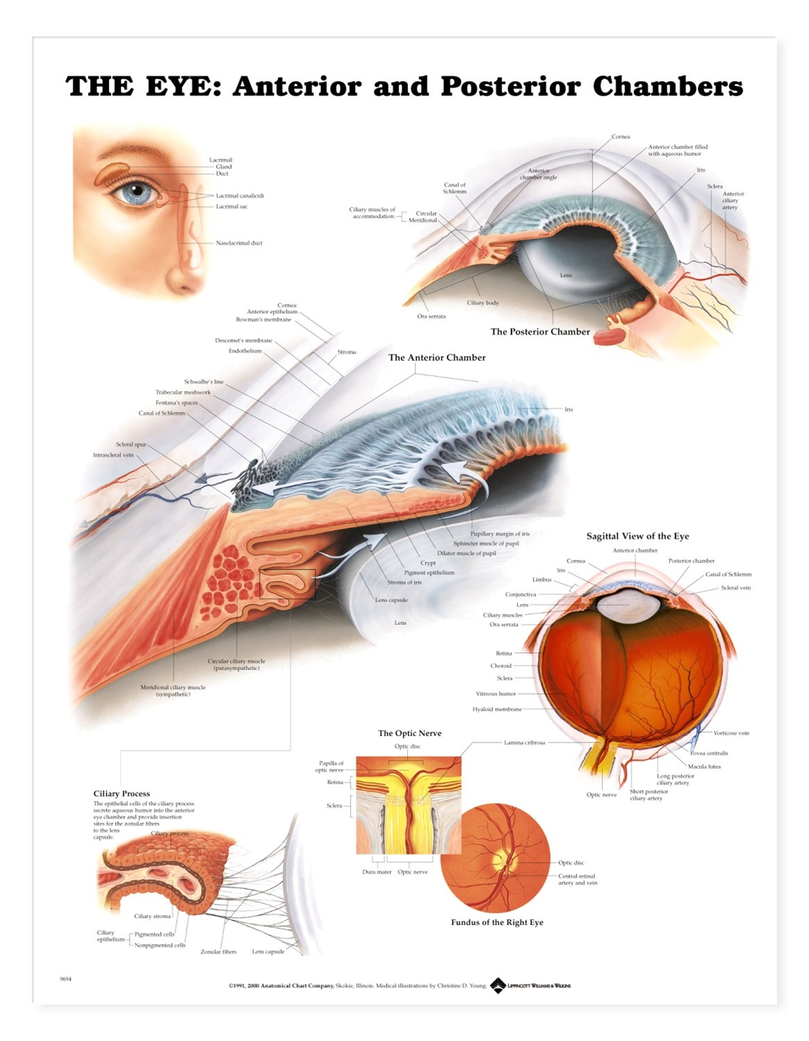 The Eye Anterior And Posterior Chambers Anatomical Chart