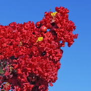Buy Flowering Trees for Sale at the Lowest Prices at Ty Ty Nursery Crape Myrtle Trees