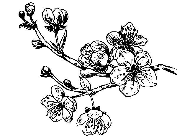 cherry tree branch coloring page coloringcrew com