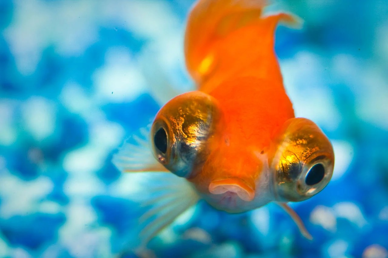 Surprise Your Pet Fish May Be Able To Recognize You Kids
