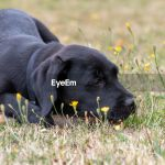 Low Angle Portrait Of A Cute Black Labrador Id 146703169