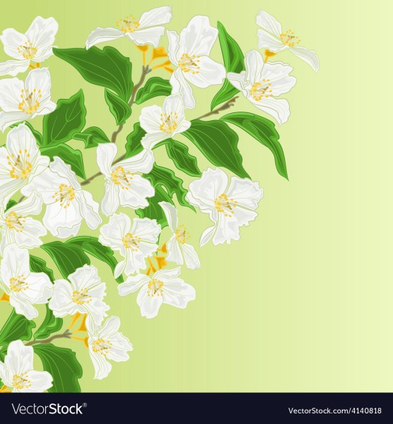 Jasmine flower branch spring background Royalty Free Vector Jasmine flower branch spring background vector image