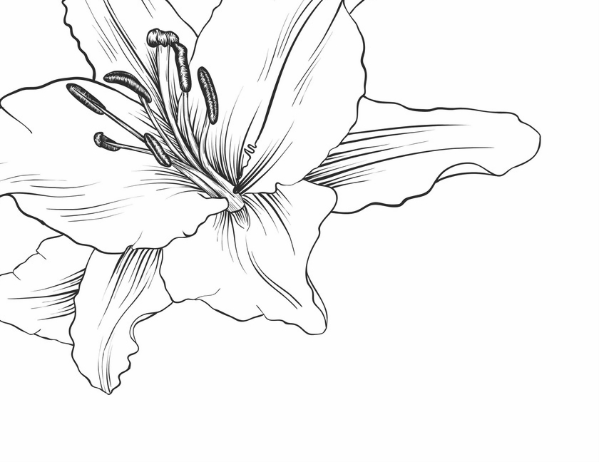 Drawing flower of lily Royalty Free Vector Image