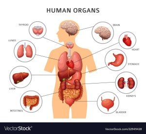Human body internal ans stomach and lungs Vector Image