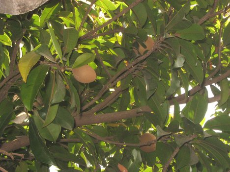 Chickoo fruit tree - fruit